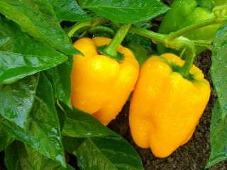 Papryka słodka do uprawy w gruncie - Marta Polka - 80 nasion