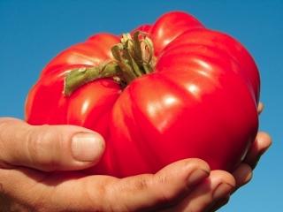 Pomidor gruntowy Malinowy Bawole Serce - 50 nasion