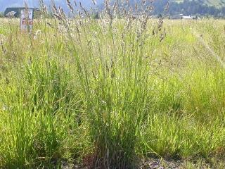 Kupkówka pospolita Donata - nasiona otoczkowane - 5 kg