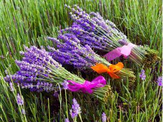 Lawenda - intensywnie pachnąca - 250 nasion