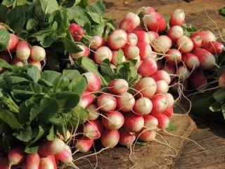 Rzodkiewka Krakowianka - 850 nasion