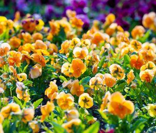 Bratek wielkokwiatowy - pomarańczowy