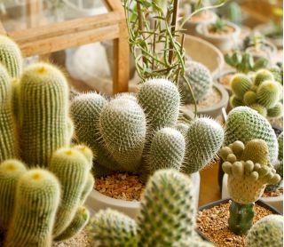 Kaktusy - mieszanka gatunków - 120 nasion