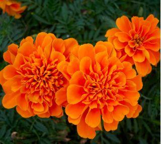 Aksamitka rozpierzchła - pomarańczowa - 300 nasion