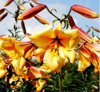 Lilia trąbkowa African Queen - 1 cebula