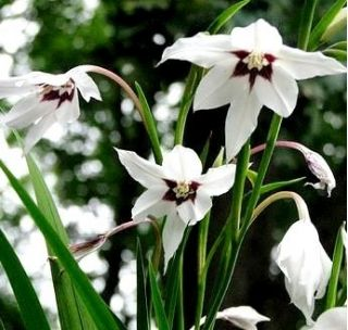 Acidanthera Murielae, Bicolor - Mieczyk abisyński - 20 cebulek