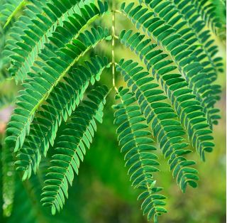 Mimoza - 34 nasion