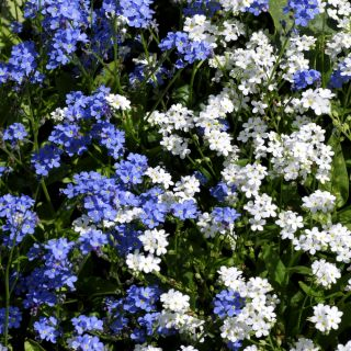 Niezapominajka alpejska  Mieszanka - 1100 nasion