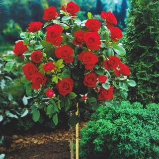 Róża Pienna Fontannowa Czerwona Sadzonka W Pojemniku C4 W Sklep Nasiona Sprawdź Darmową Wysyłkę