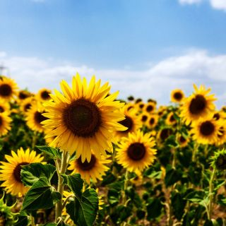 Słonecznik jadalny - 120 nasion