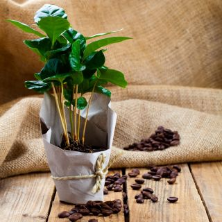 Drzewko Kawowe, Kawowiec - 8 nasion