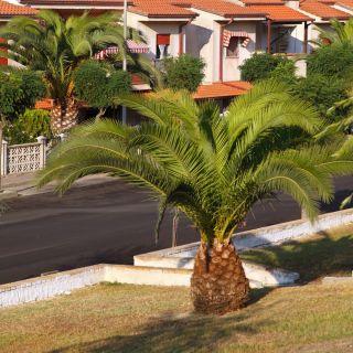 Palma królewska - 5 nasion