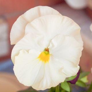 Bratek wielkokwiatowy - biały - 400 nasion