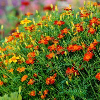Aksamitka wąskolistna brązowoczerwona - 390 nasion