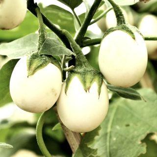 Oberżynka Golden Eggs - 25 nasion