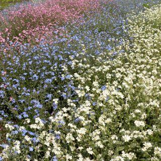 Niezapominajka alpejska  Różowa - 660 nasion