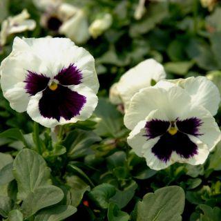 Bratek wielokwiatowy - biało-czarny - 400 nasion