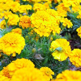 Aksamitka rozpierzchła - żółta - 350 nasion