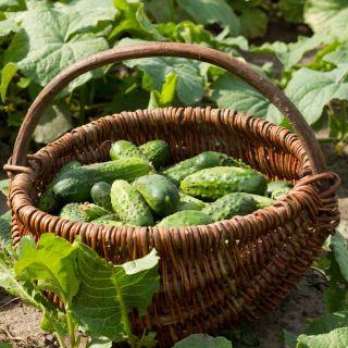 Ogórek krzaczasty Dar - można uprawiać w pojemnikach! - 165 nasion