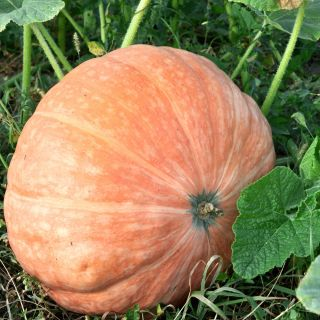 Dynia olbrzymia - Atlantic Giant - gigantyczne owoce, nawet 300 kg - 12 nasiona