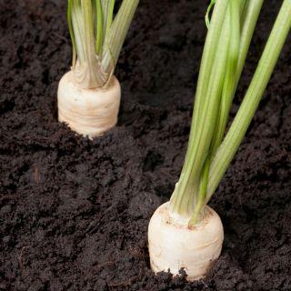Pietruszka Cukrowa - wczesna - 4250 nasion