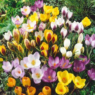 Krokus - kolorowa mieszanka odmian - 10 cebulek