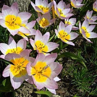 Tulipan Saxatilis - 5 cebulek