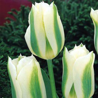 Tulipan Spring Green - 5 cebulek