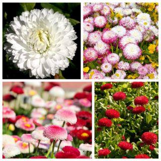 Stokrotki - królowe polskich łąk - zestaw 4 odmian nasion kwiatów