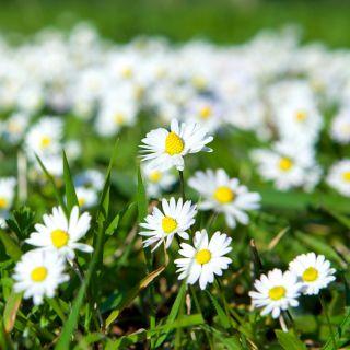 Stokrotka łąkowa, trawnikowa - 1200 nasion