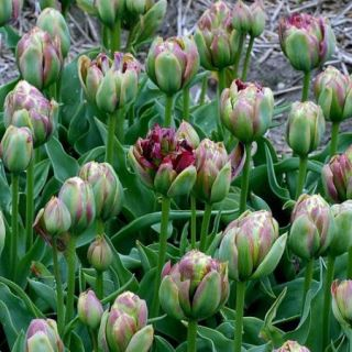 Tulipan Boa Vista - 5 szt.
