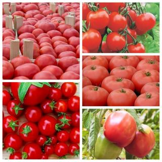 Najpopularniejsze odmiany pomidorów - zestaw 5 odmian nasion