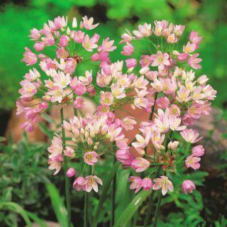 Czosnek różowy - Allium roseum - 20 cebulek