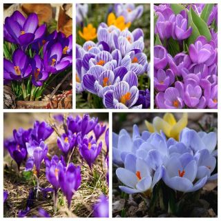 Krokusy - odmiany w odcieniach niebieskiego i fioletu - 200 szt.