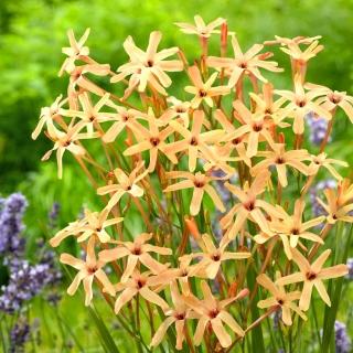 Ixia - Iksja Paniculata Eos - 25 szt.