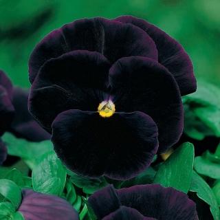 Bratek wielokwiatowy Black King - 320 nasion