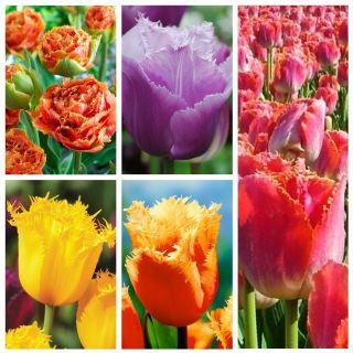 Tulipan strzępiasty - zestaw najbardziej atrakcyjnych odmian - 50 szt.