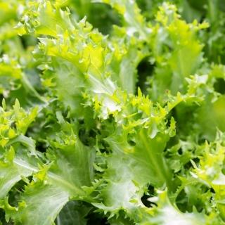 Endywia - mieszanka odmian - Baby Leaf - 900 nasion