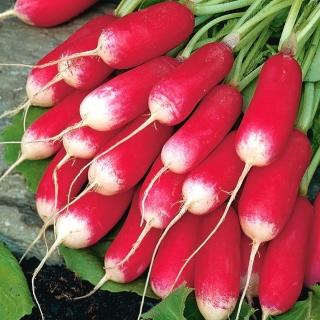BIO Rzodkiewka French Breakfast 3 - Certyfikowane nasiona ekologiczne - 425 nasion