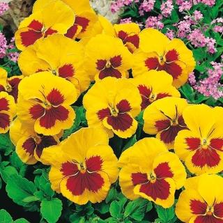 Bratek wielkokwiatowy - żółto-czerwony - 320 nasion