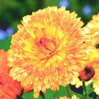 Nagietek lekarski Apricot Beauty - Morelowa Piękność