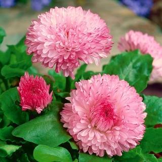 Stokrotka wielkokwiatowa różowa - Maria - 600 nasion