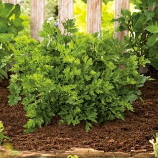 BIO Pietruszka naciowa - Gigante d'Italia - Certyfikowane nasiona ekologiczne - 1200 nasion
