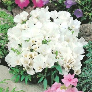 Godecja, Marszawa - o kwiatach białych - 1500 nasion