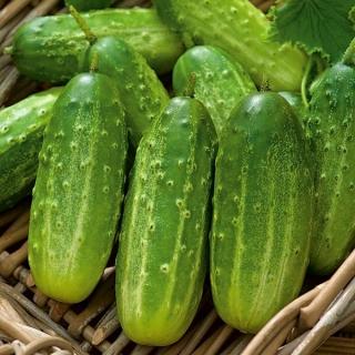 Ogórek Polan F1 - konserwowy - nasiona otoczkowane - 50 nasion