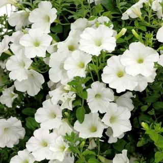 Petunia ogrodowa - Kaskada biała - 160 nasion