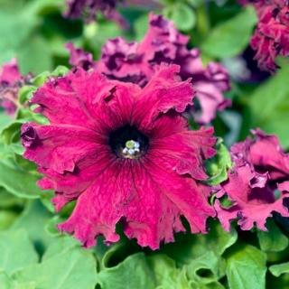 Petunia ogrodowa Gottfried Michaelis - strzępiasta, wiśniowo-fioletowa