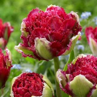 Tulipan Belfort - 5 cebulek