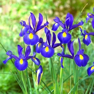 Irys holenderski - Saphire Beauty - duża paczka! - 100 szt.