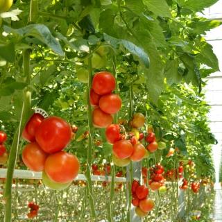 Pomidor Tukan F1 - szklarniowy - większe opakowanie